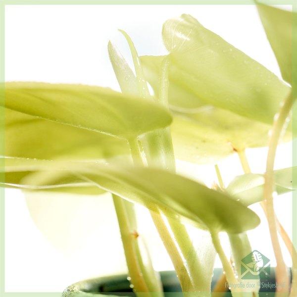 Philodendron hederaceum lemon lime stekje kopen