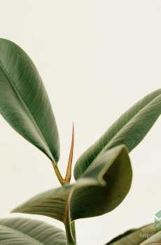 Rubberboom rubberplant Ficus el. Robusta kopen