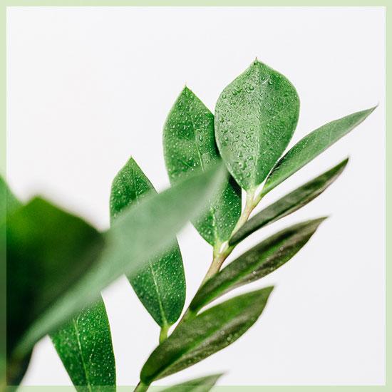 Zamioculcas Zamiifolia Easy Care kamerplant