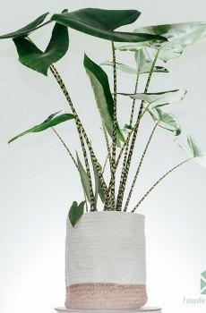 Alocasia Zebrina 120cm
