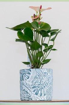 Anthurium roze bladeren kamerplant