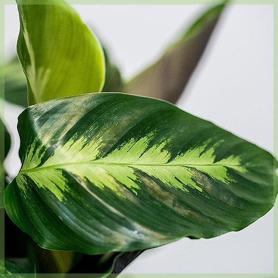 Calathea gemengd pot 14cm