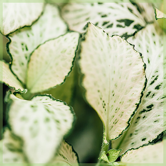 fittonia white forest flame ice queen