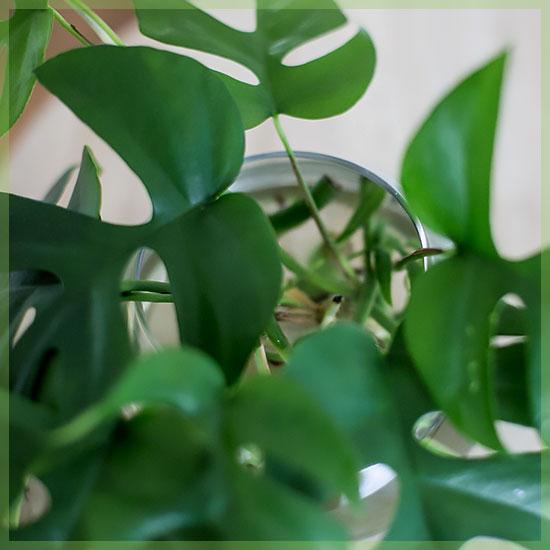 Rhapidophora tetrasperma monstera minima
