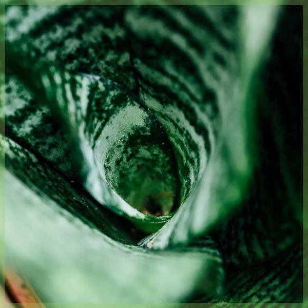 Sansevieria trifasciata snake plant vrouwentong