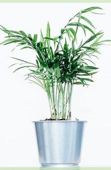 Dypsis lutescens areca palm rietpalm goudpalm