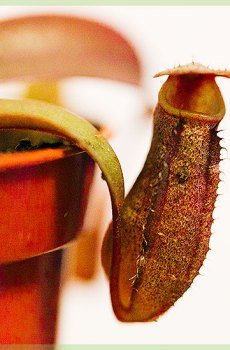 vleesetende plant nepenthes