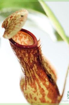 Nepenthes - vleesetende bekerplant - kopen