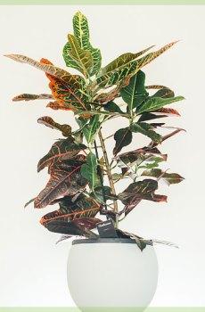 Croton codiaeum variegatum kopen