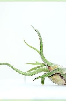 Airplant luchtplant tillandsia caput medusae kopen?