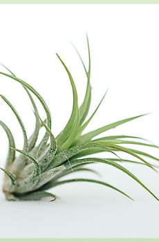 Airplant tillandsia ionantha fuego groen