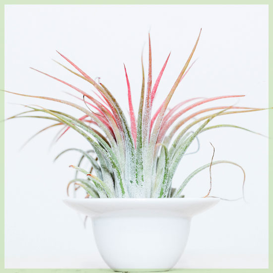 Airplants of luchtplantje tillandisia kopen