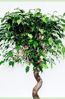 Ficus benjamina exotica curly 140cm