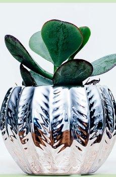 Crassula magical tree vetplant