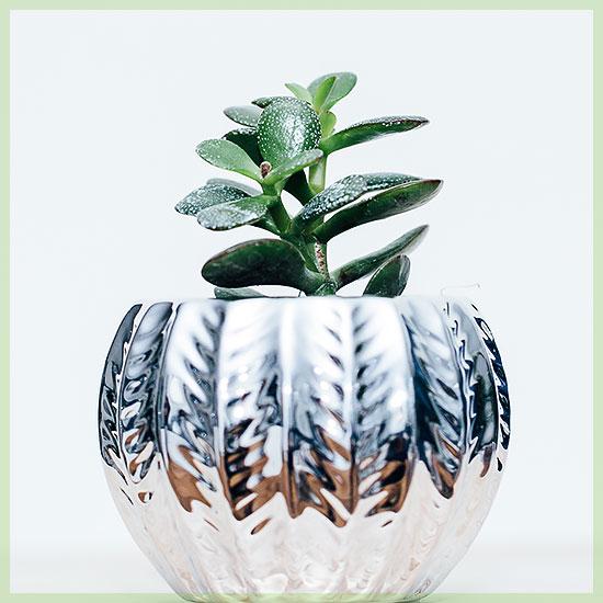 Crassula magical tree vetplant succulenten
