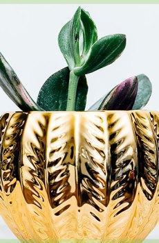 Crassula mini vetplantje succulent