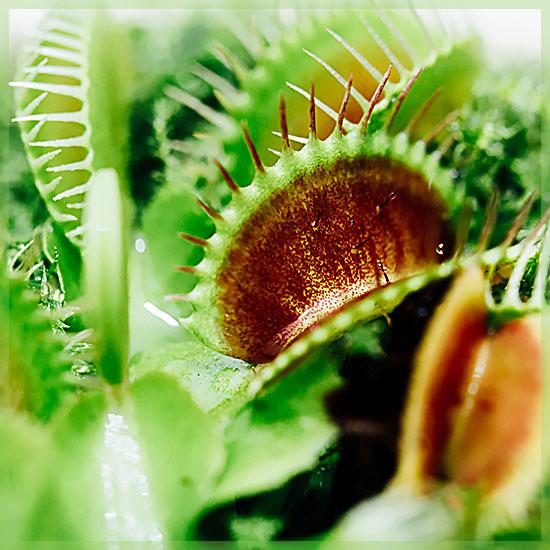 Dionaea - muscipula - vleesetende plant