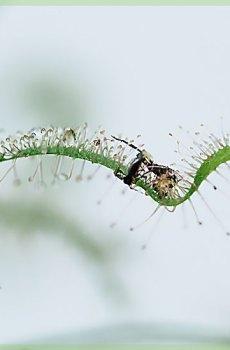 Drosera capensis alba vleesetende plant