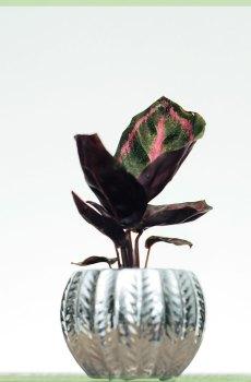 Calathea Roseopicta Illustrious kopen