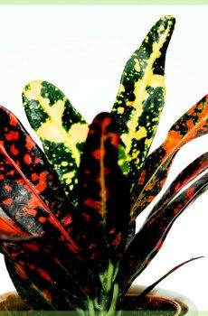 Croton codiaeum variegatum petra kopen