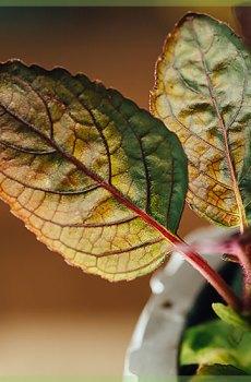 Hemigraphis alternata paarse wafelplant