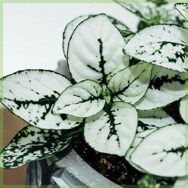 Hypoestes phyllostachya witte bladeren kopen