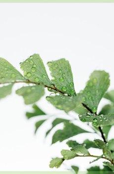 pellaea rotundifolia mini plant kopen