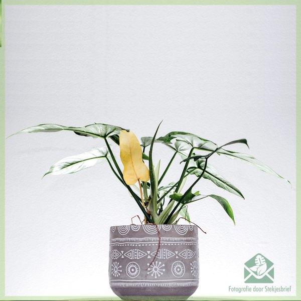 Philodendron golden dragon speciale kamerplant kopen