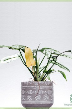 Philodendron golden dragon speciale kamerplant kopen