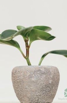 Peperomia Obtusifolia Green kopen