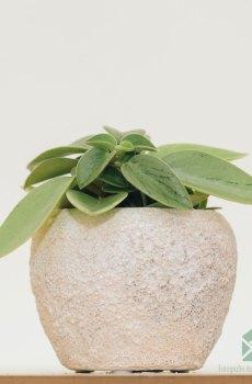 Peperomia Obtusifolia Pixie kopen