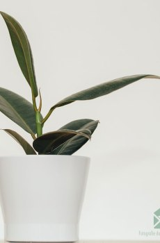 Rubberboom rubberplant Ficus el. Robusta kopen