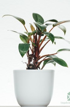 Philodendron Red Congo Petite kopen