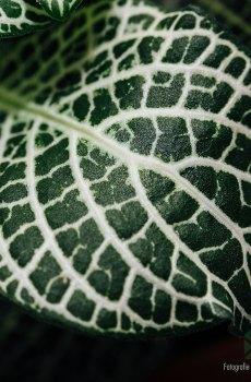 Fittonia Big Green white snow (Mozaïekplantje) kopen