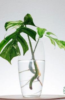 monstera albo borsigiana variegata kopen