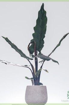 Alocasia Lauterbachiana kopen en verzorgen