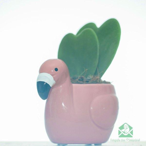 Hoya kerri 2 haartjesplanten kopen en verzorgen