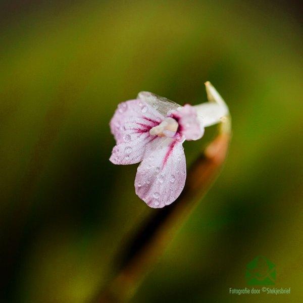 Maranta leuconeura facinator tricolor kopen en verzorgen