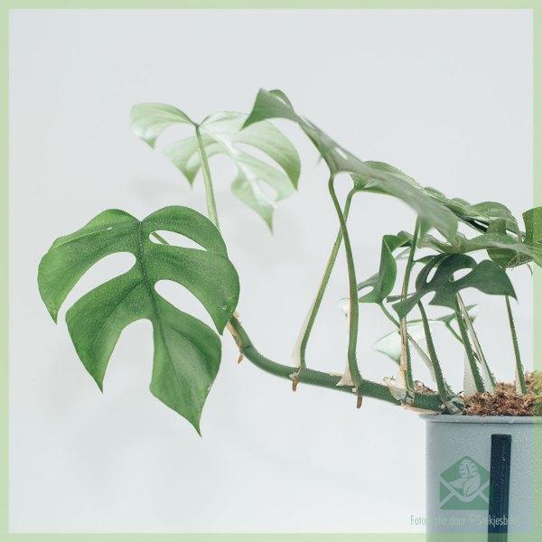 Philodendron Rhapidophora tetrasperma monstera minima geworteld stekje kopen