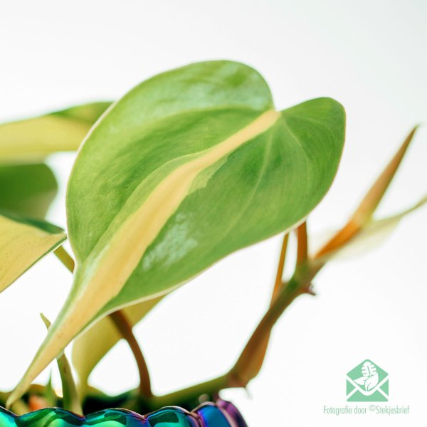 Philodendron scandens 'Brasil' miniplantje pot 6 cm