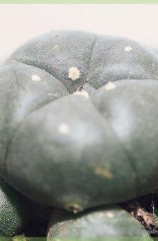 Peyote Lophophora Williamsii cactus kopen en verzorgen