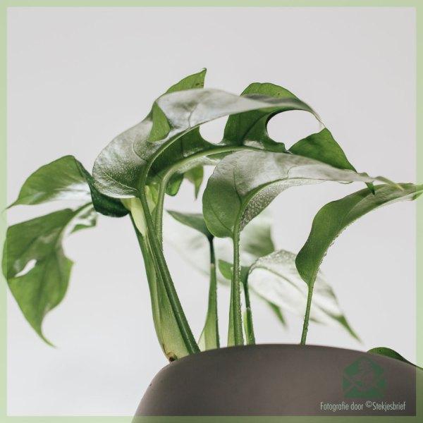 Philodendron rhapidophora tetrasperma monstera minima in pot