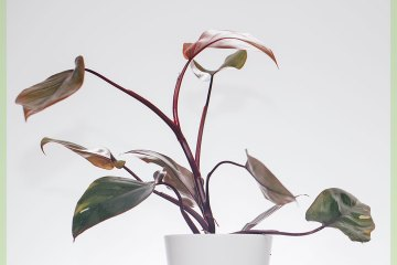 Philodendron Pink Princess kopen