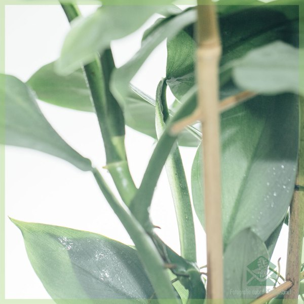 Philodendron Silver Queen op rek 50 cm kopen en verzorgen