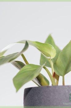 Philodendron White Princess kopen en verzorgen