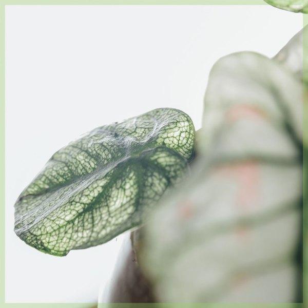 Caladium gewortelde stekjes kopen en verzorgen