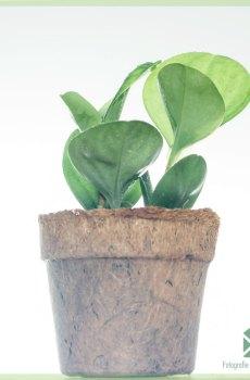Peperomia Obtusifolia Online Green kopen