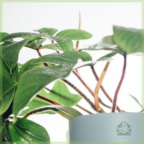 Philodendron Squamiferum kopen verzorgen