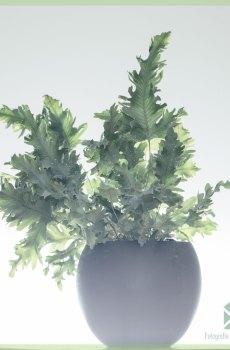 Phlebodium Aureum Davana Blauwvaren kopen