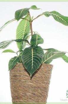 Sanchezia Speciosa kopen en verzorgen